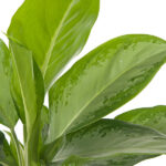Aglaonema-Cleopatra-Close-17