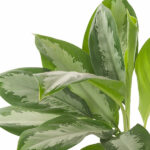 Aglaonema-Silver-Bay-17-Close