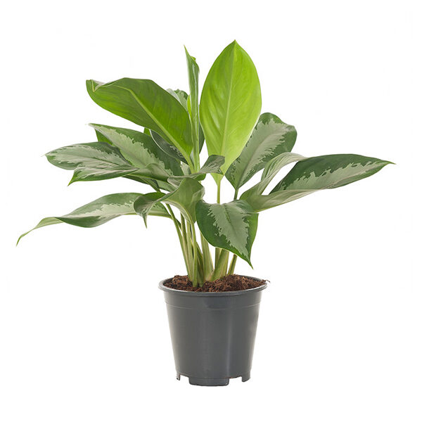 Aglaonema-Silver-Bay-17_best