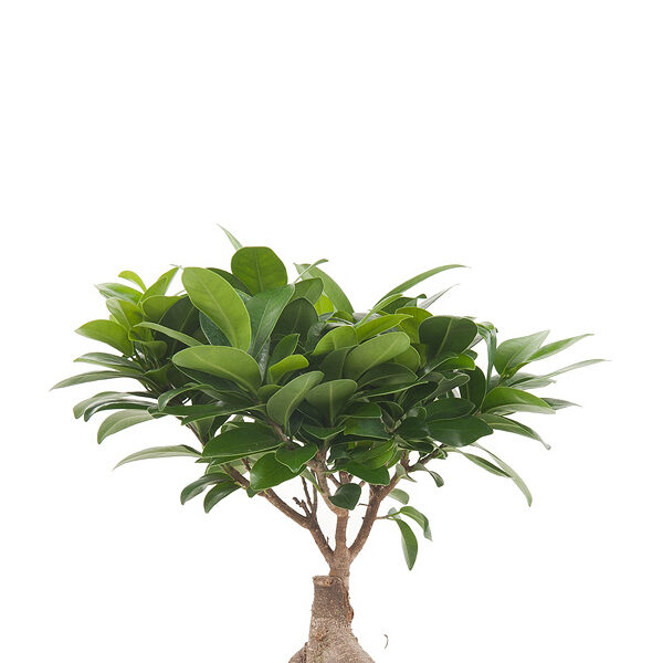 Ficus-microcarpa-Ginseng-17_zoom
