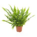 Nephrolepis-exaltata-Green-lady-12
