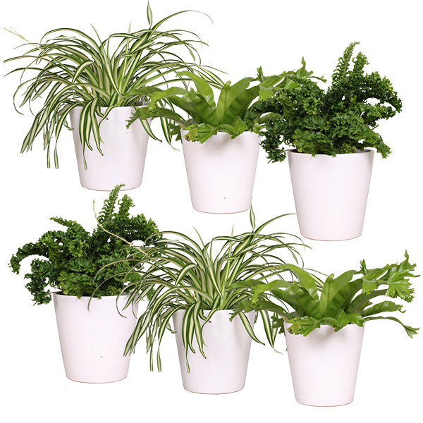 Air So Pure package 6-pack (Luchtzuiverende planten mix)