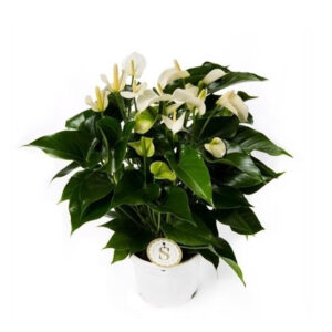 Anthurium White Champion