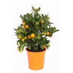 citrus-calamondin-19