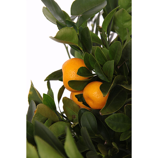 citrus-calamondin-19-zoom