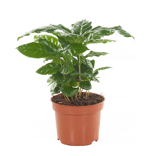 Koffieplant P 12 cm