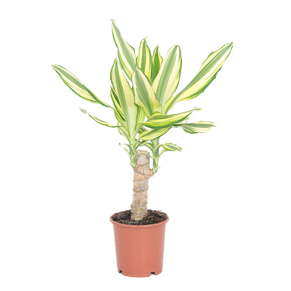 dracaena-yellow-coast