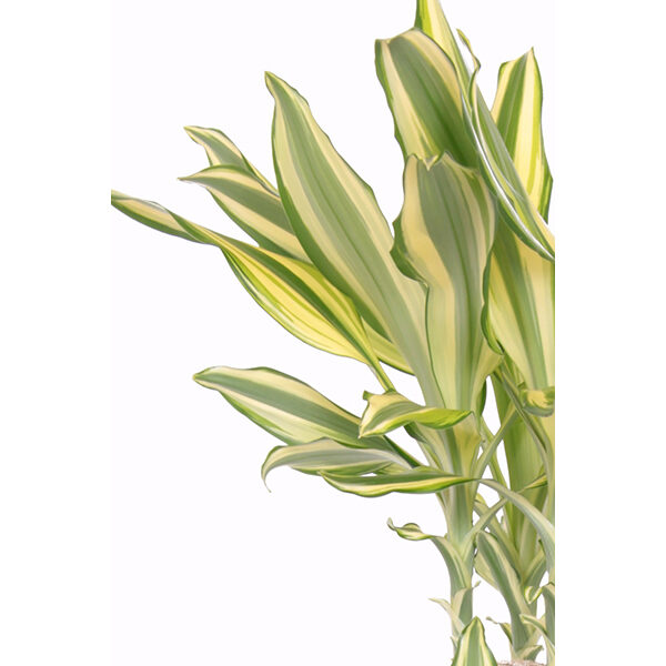 dracaena-yellowcoast-45-20-zoom