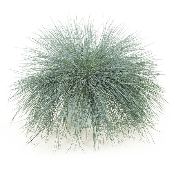 festuca-intense-blue23