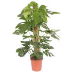 gatenplant-monstera-24