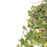 hedera-gold-child19-zoom