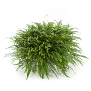 Nephrolepis boston hangplant