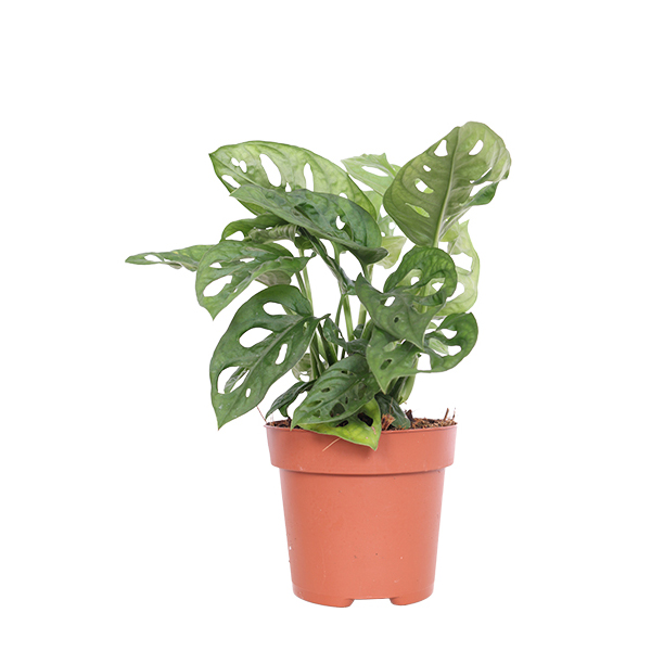 Monstera Adansonii apos Monkey Mask apos P 12 cm