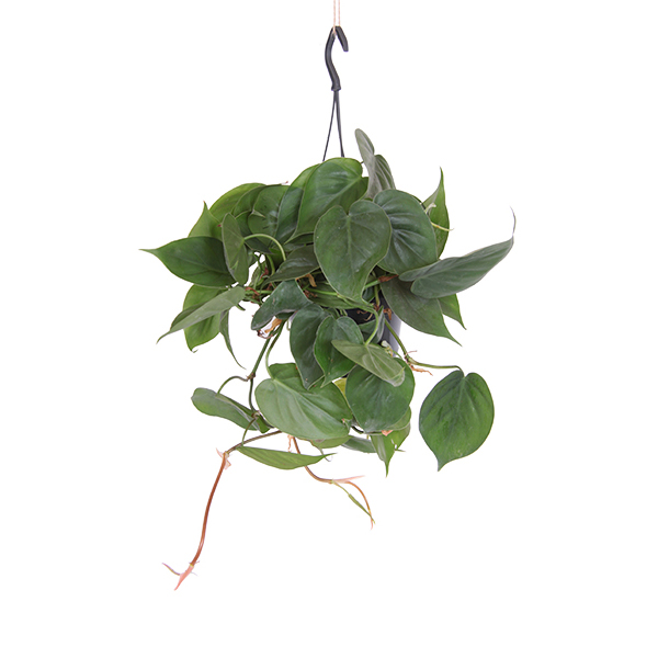 Philodendron Scandens P 15 cm