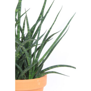 sansevieria-fernwood-terracotta close_up