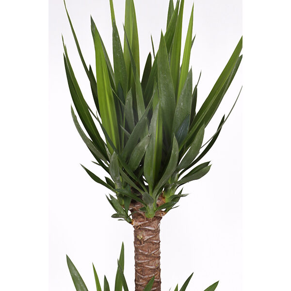 yucca-24-zoom