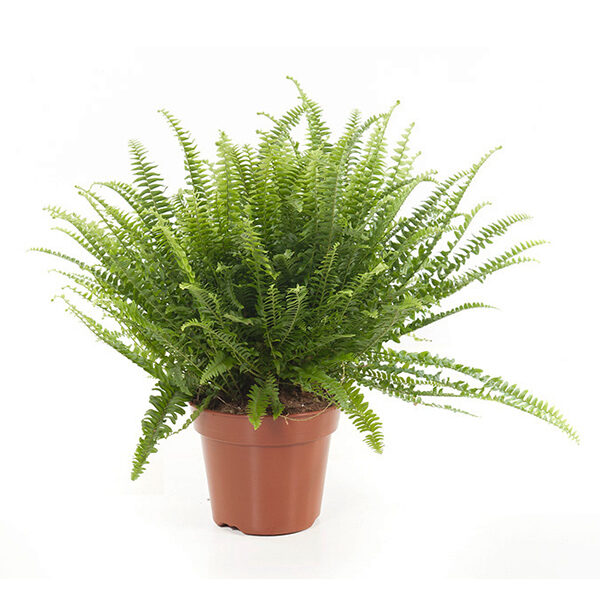 Nephrolepis-exaltata-Green-Lady-17-600×600