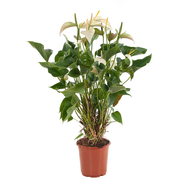 anthurium-princess-alexia-21