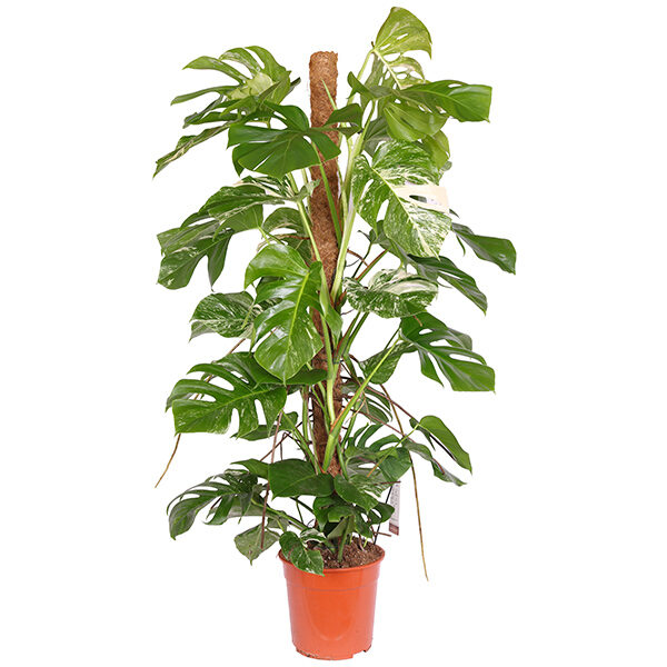 monstera-bont-27