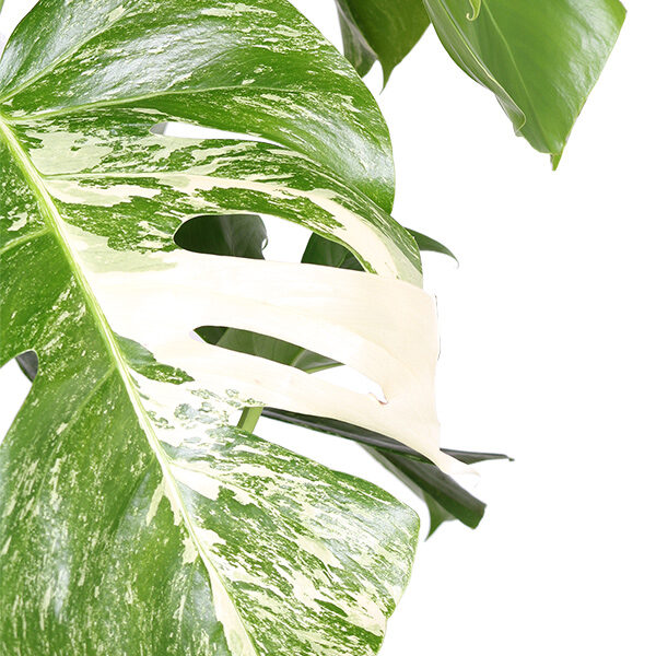 monstera-bont