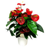 Anthurium Royal Red Champion
