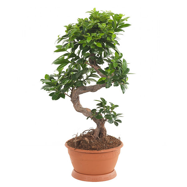 ficus-ginseng-s-type-22
