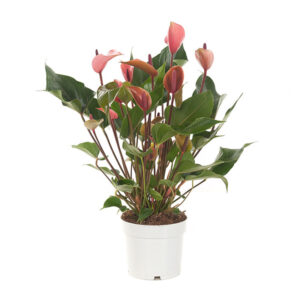 Anthurium cherry champion