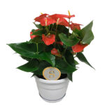 anthurium-orange-champion-20