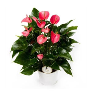 Anthurium Pink Champion