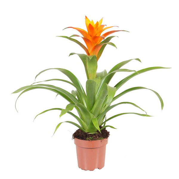 Guzmania-Indian-night-oranje-p12-oranje