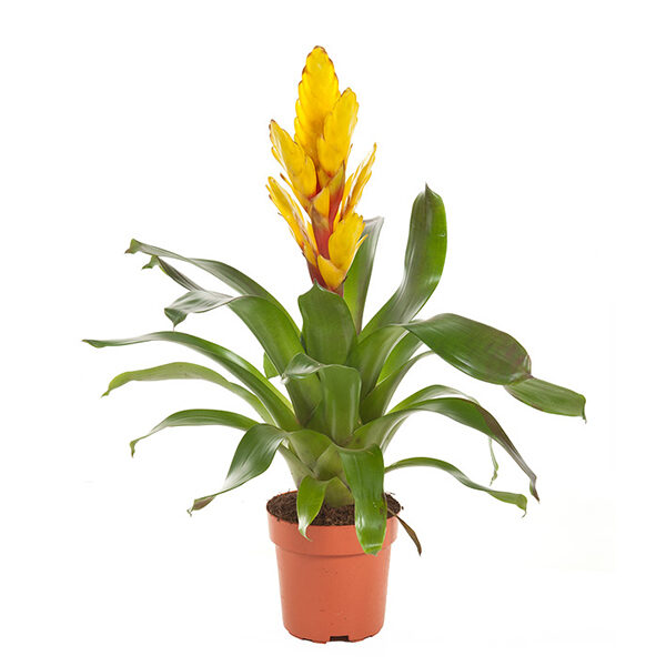Vriesea-Intenso-Yellow-p12-Bromelia-Specialist