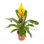 Vriesea-Intenso-Yellow-p12-Bromelia-Specialist_1
