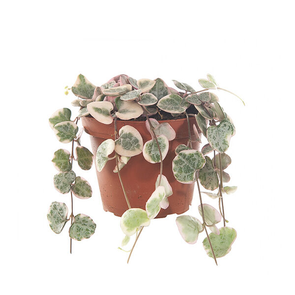 Ceropegia-woodii-variegated-bont-8
