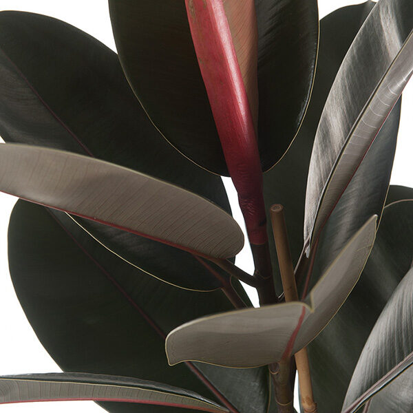 Ficus-elastica-Abidjan-30-close