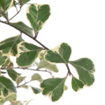 ficus-triangularis-17-close