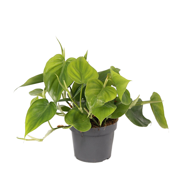 Philodendron Scandens - P 12 cm