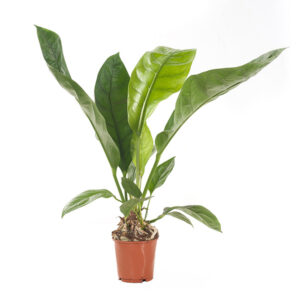 Anthurium Jungle bush king
