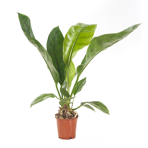 Anthurium Jungle Bush - P 17 cm