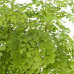 adiantum-fragrans-p12-closeup