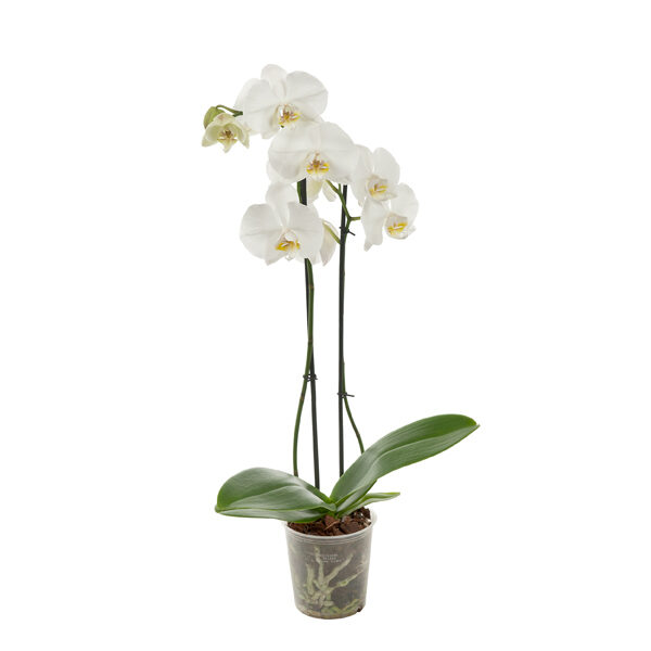witte-orchidee-p12