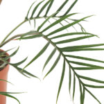 Philodendron-polypodioides-15-blad