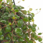Peperomia-Pepperspot-hang-blad-15