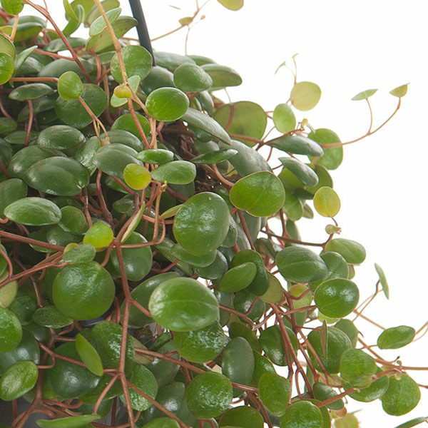 peperomia pepperspot plant