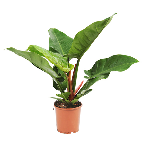 Philodendron Imperial Green P 19 cm