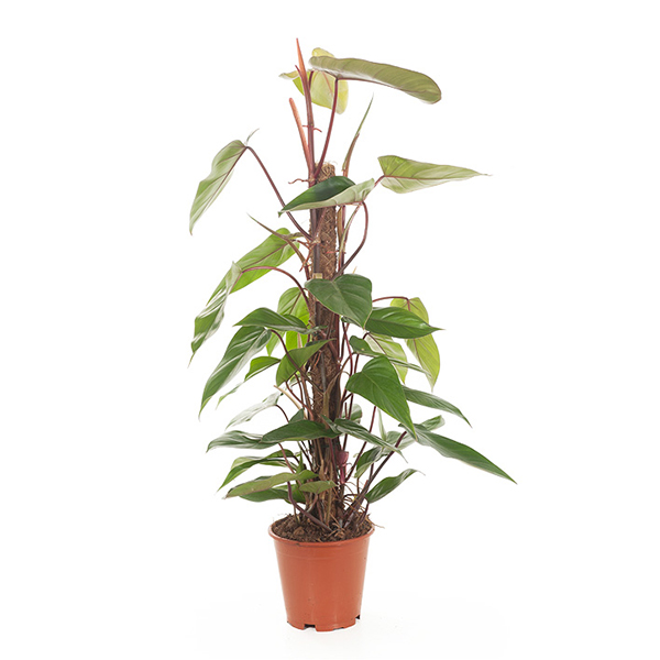Philodendron Red Emerald (mosstok) - P 19 cm