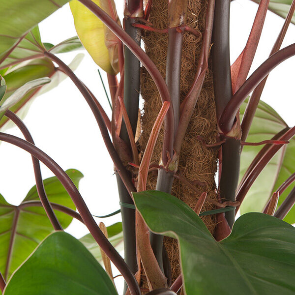 Philodendron-Red-Emerald-19_blad