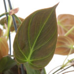 Philodendron-micans-blad