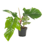 Philodendron-squamiferum-13