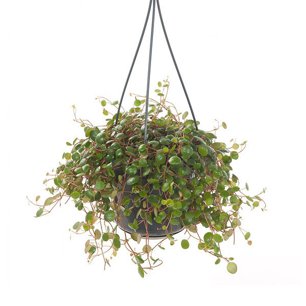 peperomia-pepperspot-green-coins-15