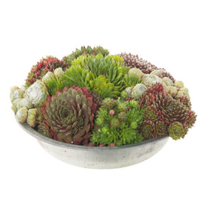 Sempervivum in schaal